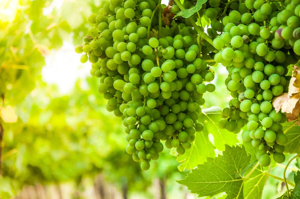 Falanghina Grape, indigenious to Campania
