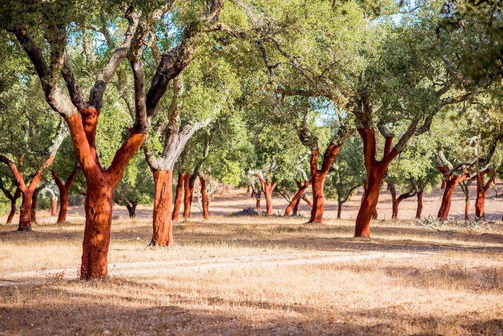 Cork Oak Tree's