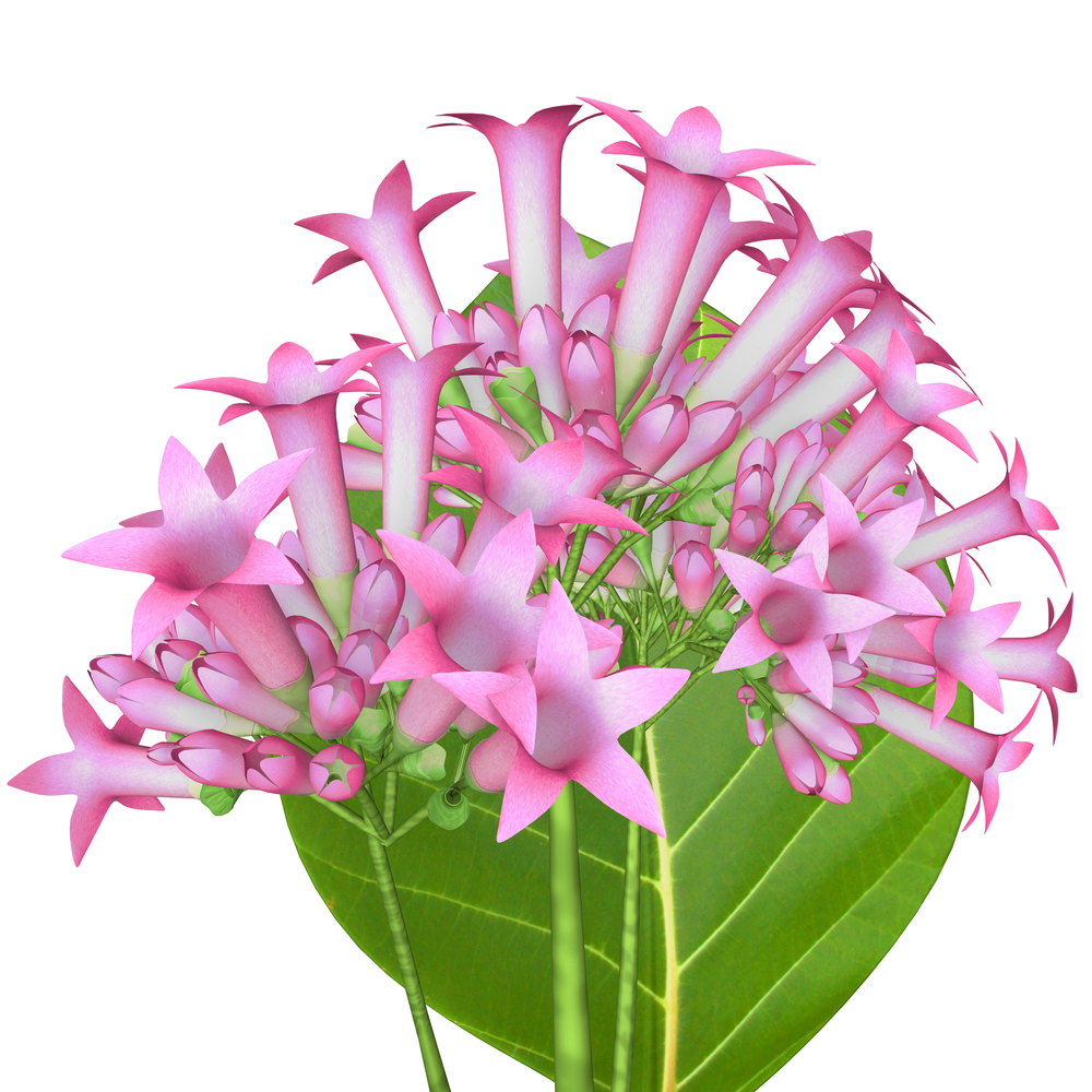 Calisaya Flowering Plant