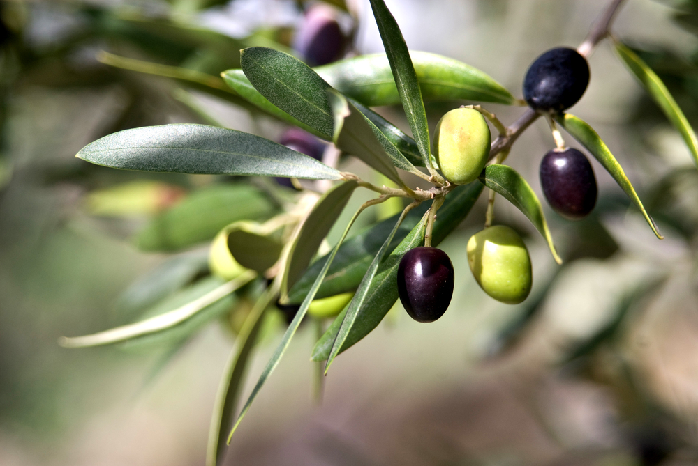 ripening-olives-on-a-branch