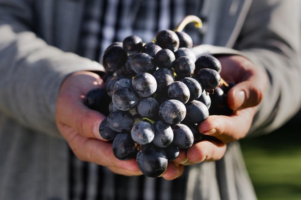 Spain's Famous Noble Tempranillo Grape