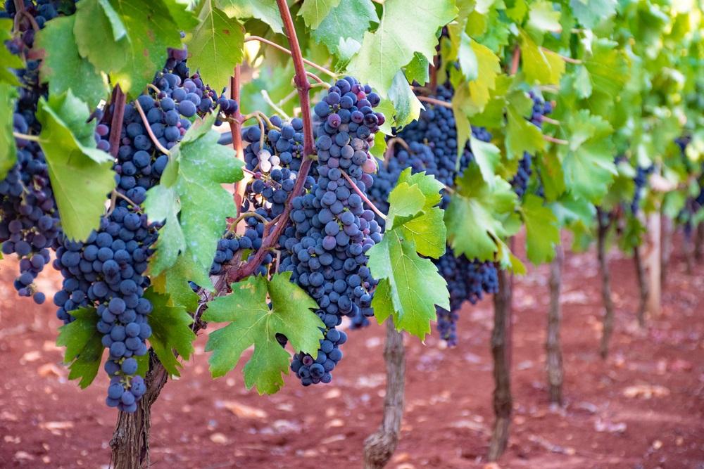primitivo-grapes