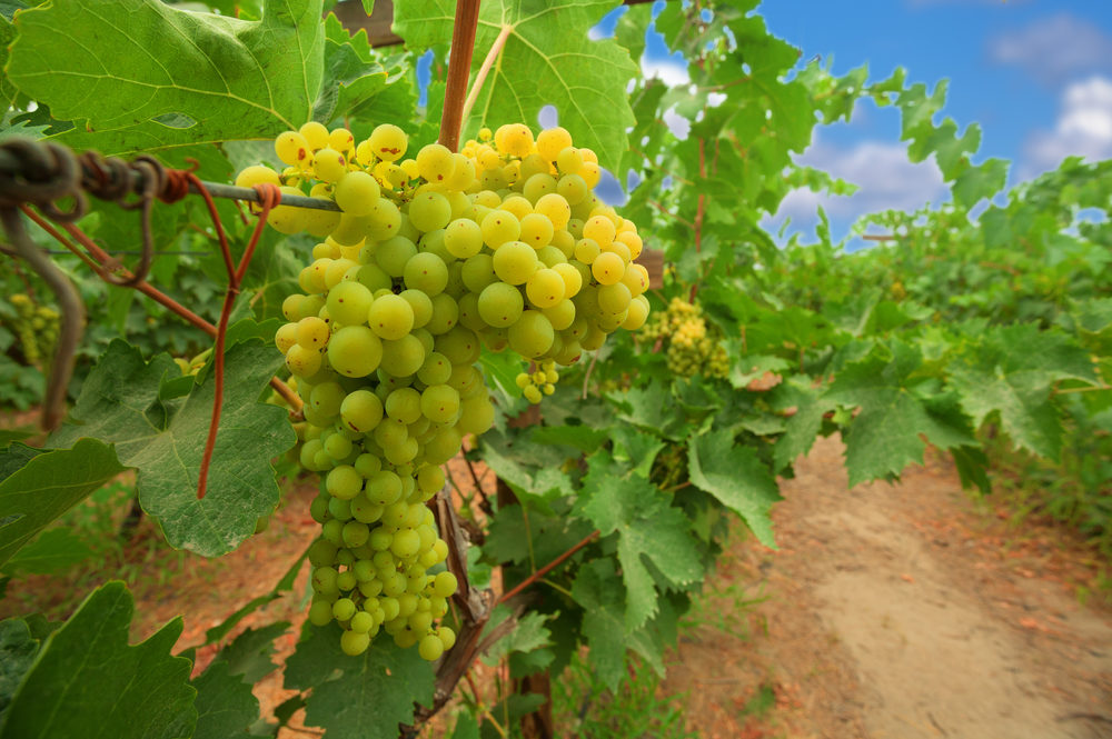 Viognier grape vines