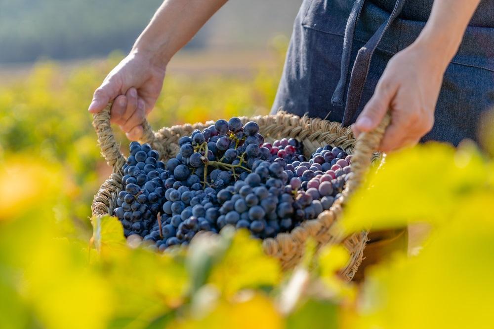 garnacha-spains-most-fashionable-grape