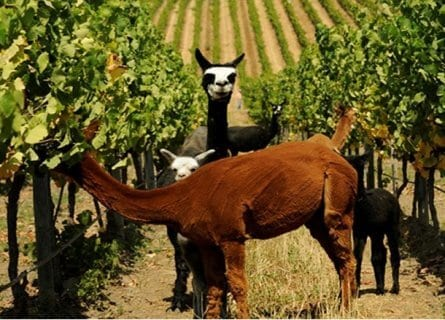 Llamas in the Matetic Vineyards