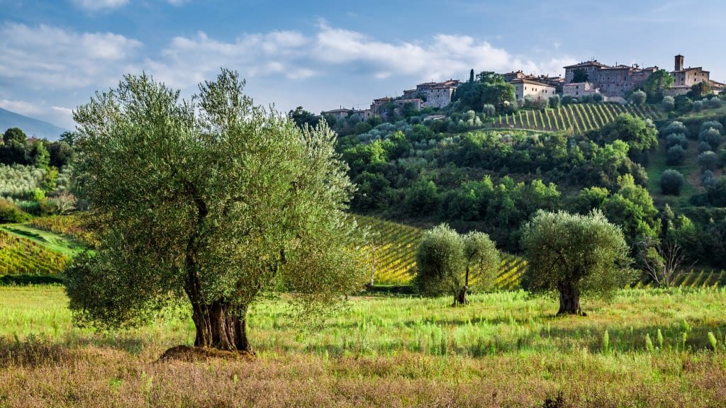 Olive oil grove in Tuscany