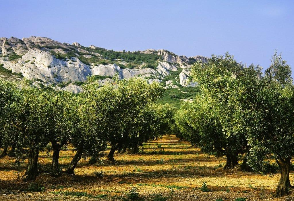 Provence Olive Grove