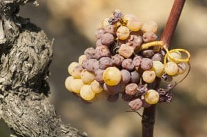 """noble rot"" or Botrytis Cinerea"