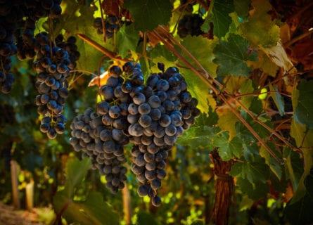Lambrusco Grasparossa grapes