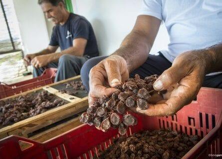 Sorting dried grapes at Donnafugata