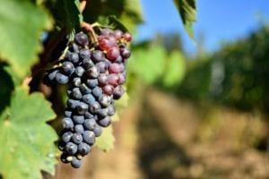 montalcino - sangiovese-grapes