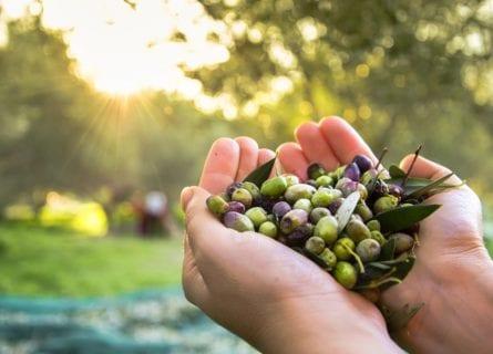 olive-oil - olives-harvested-by-hand