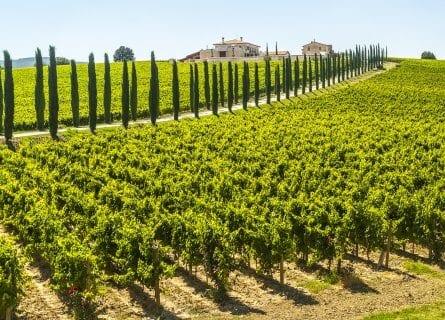 Cypresses lining vineyard near Perugia