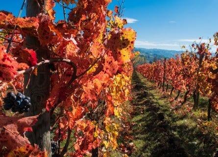 Sagrantino vines autumn colors