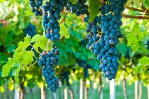 Ripe Amarone Grapes