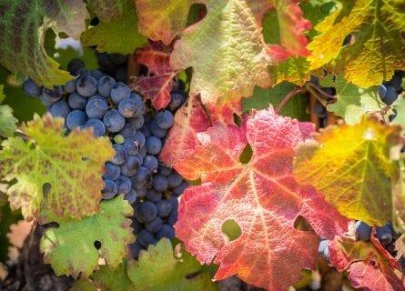 Frankschhoek Vineyard at Harvest