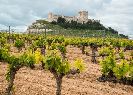 Vineyards with Peñafiel castle