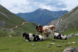 Picos de Europa Pasture